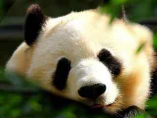可爱熊猫高清电脑