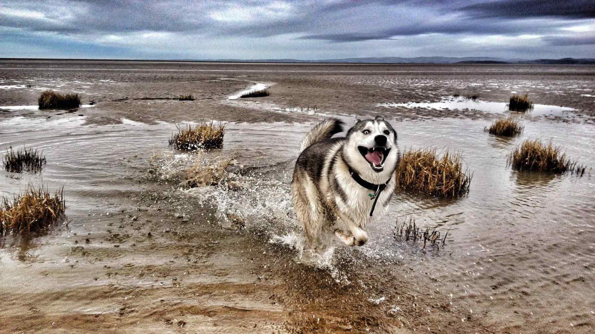 哈士奇海边疯跑搞笑表情高清壁纸