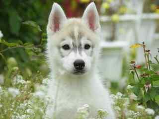 哈士奇幼犬草丛中高清壁纸