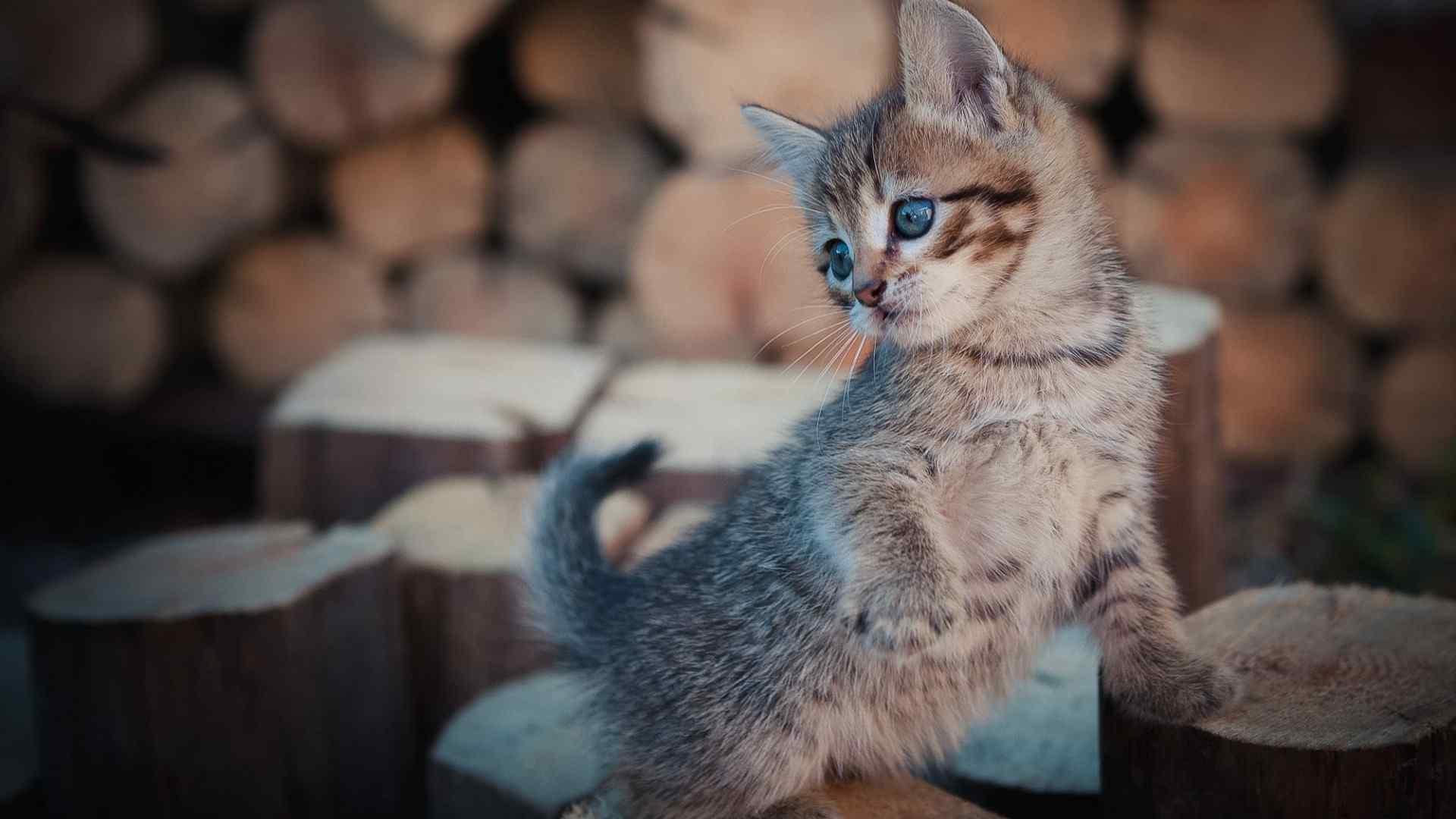 帅气小奶猫软萌桌面壁纸