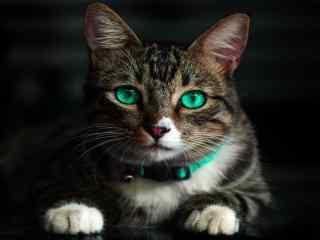 帅气碧眼猫咪壁纸