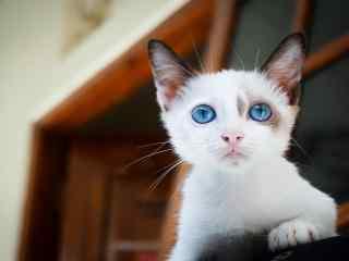 小奶猫高清可爱桌