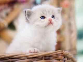 可爱白色小猫桌面