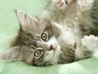软萌小猫桌面壁纸