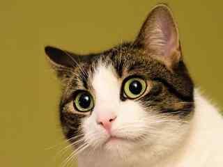 软萌可爱猫咪桌面