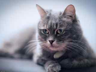 帅气冷酷猫高清桌