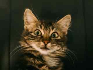 一脸惊讶可爱猫咪