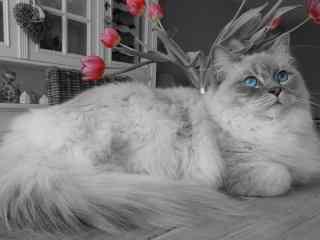 超可爱猫咪图片桌