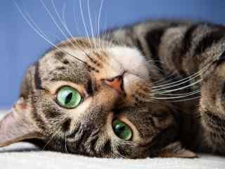 猫咪可爱特写桌面