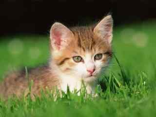 帅气小奶猫可爱桌