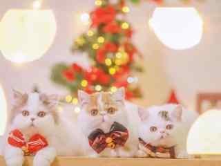圣诞猫咪桌面壁纸