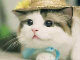 可爱猫咪软萌桌面
