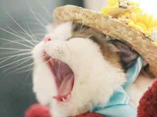 超可爱猫咪打哈欠