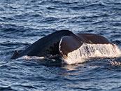 鲸鱼尾巴高清唯美