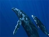水下壮观座头鲸母