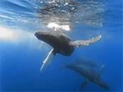 座头鲸群高清震撼