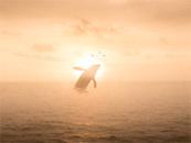 夕阳下鲸鱼跃出水
