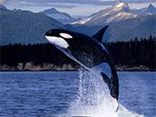 凶猛虎鲸高清电脑