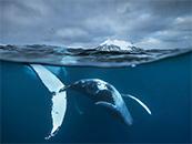 鲸鱼水中翻滚震撼