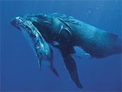 鲸鱼母子高清电脑