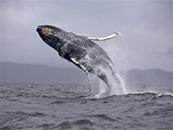 鲸鱼图片高清座头
