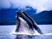 超大座头鲸高清鲸