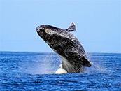 跃出水面的座头鲸