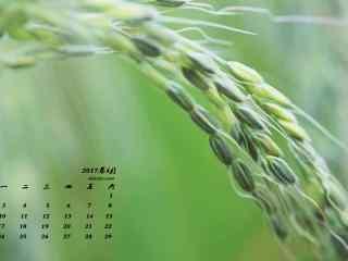 2017年4月日历唯美绿色麦穗壁纸