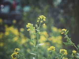 春分节气—春日里盛开的油菜花桌面壁纸