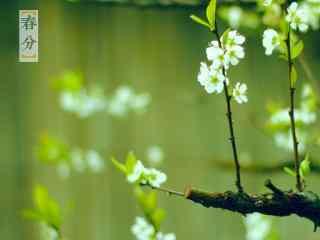 春分节气—新枝吐绿芽桌面壁纸