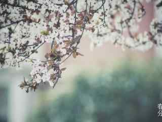 春分节气—唯美桃花花海桌面壁纸