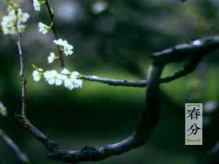 春分节气—枝头开满樱花桌面壁纸