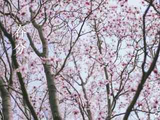 春分节气—唯美桃花林桌面壁纸