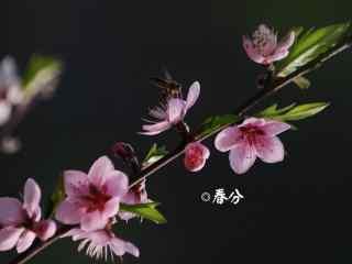 春分节气—蜜蜂停留在桃花上桌面壁纸