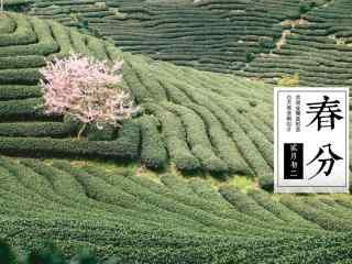 春分节气—茶田中
