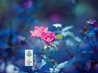春分节气—唯美小清新鲜花桌面壁纸