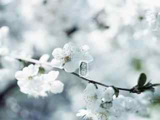 春分节气—唯美白色樱花桌面壁纸