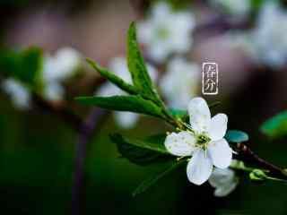 春分节气—枝头盛开的白色小花桌面壁纸