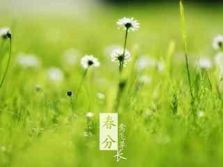 春分节气—小清新绿色小雏菊桌面壁纸