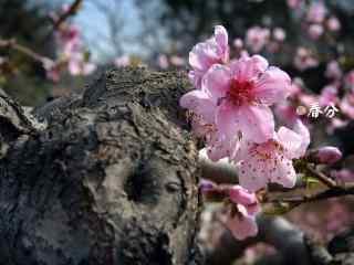春分节气—唯美桃花盛开桌面壁纸