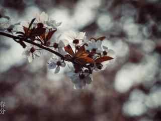 春分节气—阳光下的盛开的桃花桌面壁纸