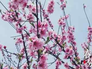春分—美丽樱花桌面壁纸