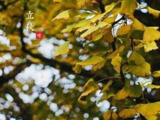 立秋唯美银杏叶桌面壁纸