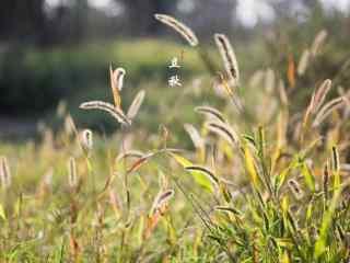 立秋植物之秋日狗尾巴草壁纸