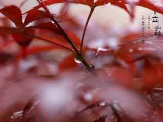 立秋壁纸之唯美红色枫叶