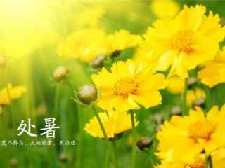 二十四节气处暑美丽黄花桌面壁纸