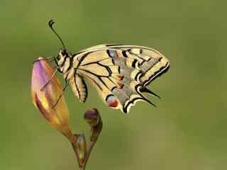 停在花苞上的燕尾蝶桌面壁纸