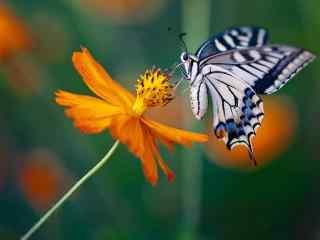 唯美的燕尾蝶摄影桌面壁纸
