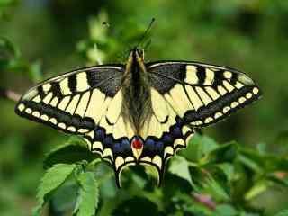 燕尾蝶唯美摄影桌面壁纸