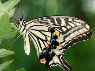 燕尾蝶微距摄影高清桌面壁纸